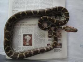 0,1 Heller Tigerpython/Python molurus molurus