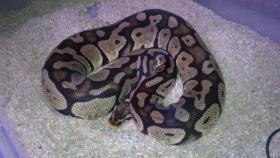 0,1 Python regius pastel von 2006