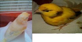 1 Kanarienvogel Pärchen inkl. Kanarienvogelkäfig