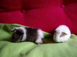 1 Monat junges Meerschwein-Männchen mit oder ohne Schwester abzugeben