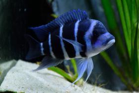 Foto 4 1 Pärchen Cyphotilapia Gibberosa Blue Zaire Moba