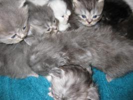 Foto 4 1 Perser Kater 12 Wochen+7 Perser Zwerge geb.am 24.7.2010