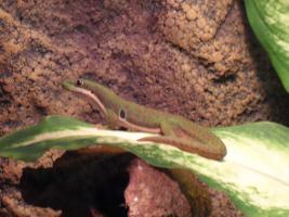 1 jahr alter  Pfauenaugen-Taggecko (Phelsuma quadriocellata), männlich