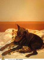 Foto 2 1 jahr jungen braunen dobermann