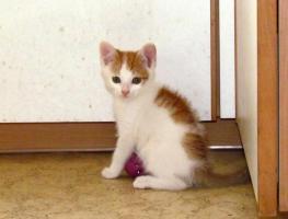 Foto 3 1 rot-weisses Kätzchen zu vergeben