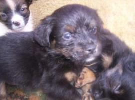 Foto 2 1 süßer Chihuahua-Pinscher Mix Welpen