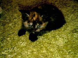 1 s��es Bengal - Maine Coon Kitten suchen neues zu Hause