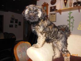 1 süßes Tibet Terrier Mädchen Welpe
