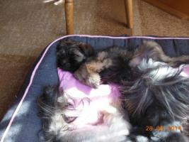 Foto 2 1 süßes Tibet Terrier Mädchen Welpe
