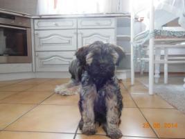 Foto 3 1 süßes Tibet Terrier Mädchen Welpe