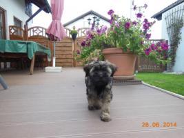 Foto 4 1 süßes Tibet Terrier Mädchen Welpe