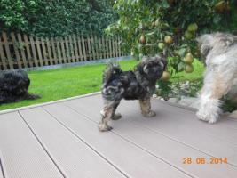Foto 5 1 süßes Tibet Terrier Mädchen Welpe