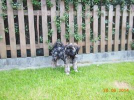 Foto 6 1 süßes Tibet Terrier Mädchen Welpe
