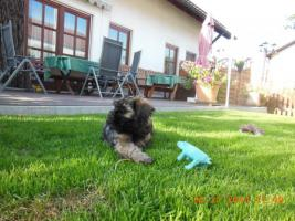 Foto 7 1 süßes Tibet Terrier Mädchen Welpe