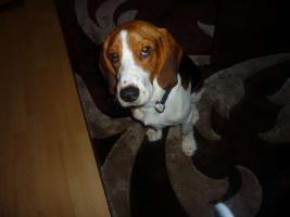 10 Monate junger Beagle-Cocker Mix in guten Händen abzugeben