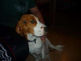 Foto 3 10 Monate junger Beagle-Cocker Mix in guten Händen abzugeben