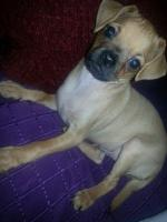 10 Wochen alter Welpe Chihuahua Mops Dackel abzugeben