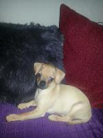 Foto 2 10 Wochen alter Welpe Chihuahua Mops Dackel abzugeben