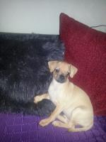 Foto 3 10 Wochen alter Welpe Chihuahua Mops Dackel abzugeben
