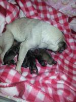 Foto 4 10 Wochen alter Welpe Chihuahua Mops Dackel abzugeben