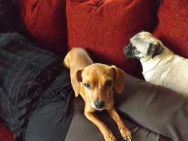 Foto 5 10 Wochen alter Welpe Chihuahua Mops Dackel abzugeben