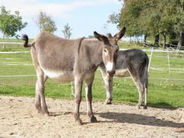 Foto 2 10-jährige Eselstute/ Riesenesel, geritten