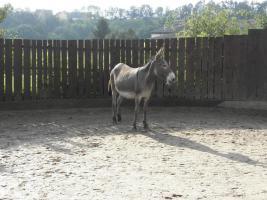 Foto 3 10-jährige Eselstute/ Riesenesel, geritten