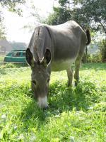Foto 5 10-jährige Eselstute/ Riesenesel, geritten