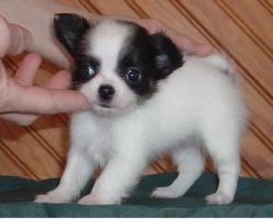Foto 2 100% Süße Kleine MINI Chihuahua Welpen in Lang&Kurzhaar !!...