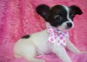 Foto 3 100% Süße Kleine MINI Chihuahua Welpen in Lang&Kurzhaar !!...