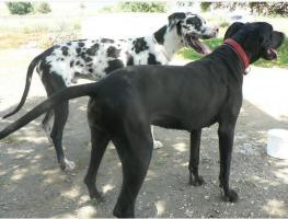 Foto 4 11 Welpen , Deutsche Dogge