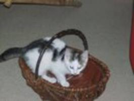 Foto 2 12-Wochen alte Katze zu verkaufen!