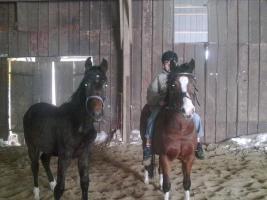 Foto 2 12 j�hriger h�bscher pony wallach zu verkaufen