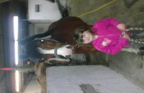 Foto 3 12 j�hriger h�bscher pony wallach zu verkaufen