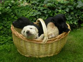 12 kleine Labrador- Retriever Racker