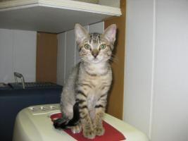 14 Wochen altes Katzenmädchen sucht ein Zuhause