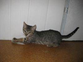 Foto 2 14 Wochen altes Katzenmädchen sucht ein Zuhause