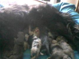 14 süsse Labrador/Sheppard Welpen