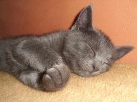 16 wochen altes katzenpersermix Mätchen sucht liebevolles zu hause .