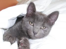 Foto 2 16 wochen altes katzenpersermix Mätchen sucht liebevolles zu hause .