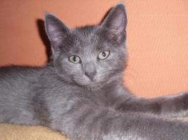 Foto 4 16 wochen altes katzenpersermix Mätchen sucht liebevolles zu hause .