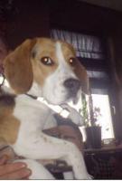 Foto 2 1Jahr jungen Hund Beagle