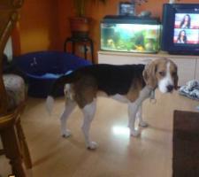 Foto 3 1Jahr jungen Hund Beagle