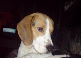Foto 4 1Jahr jungen Hund Beagle