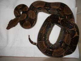 Foto 2 1.1 Boa constrictor imperator (Kaiserboa) Costa Rica Zuchtpaar