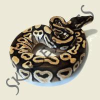 1.1 Python regius (Königspython) Mojave NZ 2013