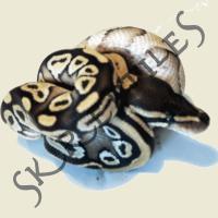 Foto 2 1.1 Python regius (K�nigspython) Mojave NZ 2013