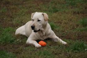 1,5 Jahre alte Labradorhündin sucht neue Familie