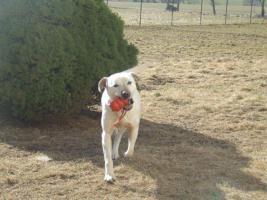 Foto 2 1,5 Jahre alte Labradorhündin sucht neue Familie