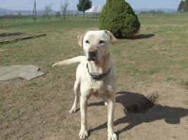 Foto 3 1,5 Jahre alte Labradorhündin sucht neue Familie
